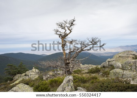 Scots pine forest and padded brushwood (Cytisus oromediterraneus and Juniperus communis) in Siete Picos (Seven Peaks) range, Guadarrama Mountains National Park, province of Segovia, Spain