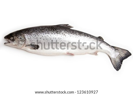 Scottish Atlantic Salmon (Salmo solar) whole, isolated on a white studio background.