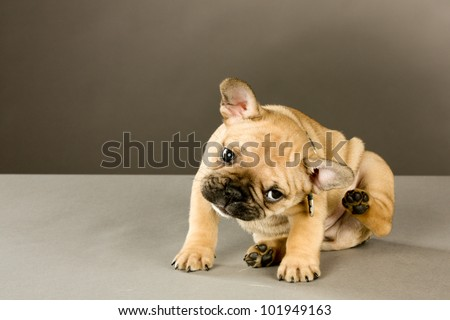 Scratching Puppy: Sweet six week old French bulldog puppy, brown with