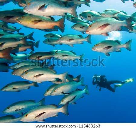 SCUBA Diver in the middle of a large school of snapper in deep water