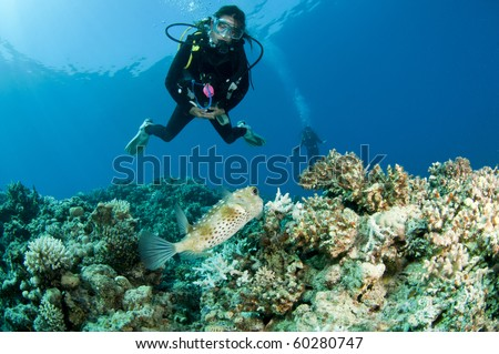 scuba diver with porcupinefish on a coral reef