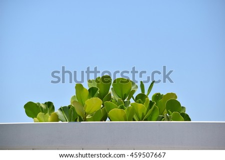 Sea Grapes Coming Over White Fence Against Blue Sky