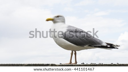 sea gull bird postcard