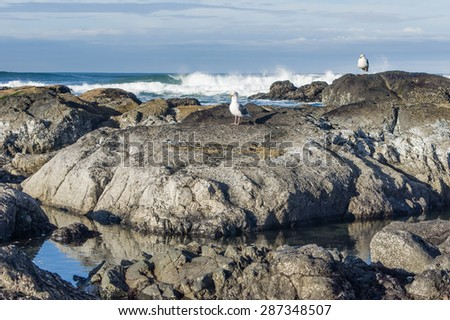 Sea gulls in a tide pool area looking for food