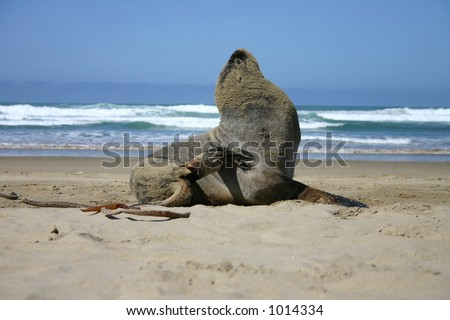 Sea Lion scratching