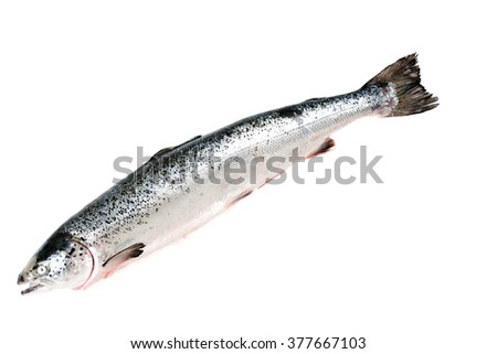 Sea trout isolated on white background