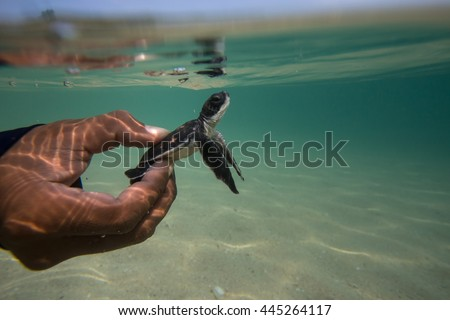 Sea turtle hatch-lings being released to sea by Thai Royal Navy volunteer program. Sattahip, Thailand