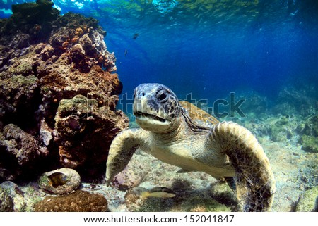 Sea turtle resting amongst volcanic rocks underwater in the Galapagos Islands