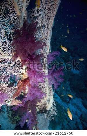 seafan, coral and fish