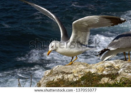 Seagull on cliff