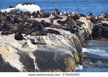 Seals at Hout Bay in South Africa