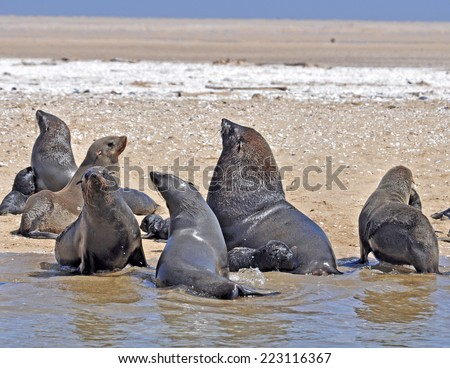 Seals on the Skeleton Coast of Namibia, South West Africa.