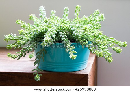 Sedum morganianum (Burro's Tail, Donkey's Tail, Lamb's Tail, Horse's Tail) World - Succulent plant native to Mexico