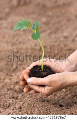 seedling of cucumber with soil in woman hands