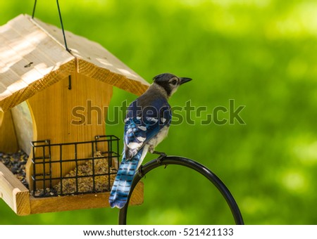 Selective focus on Blue Jay (Cyanocitta cristata) perched on shepherds hook with bird feeder and soft green background.