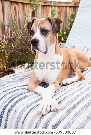 Senior Boxer Mix Dog Relaxing on Patio Outside