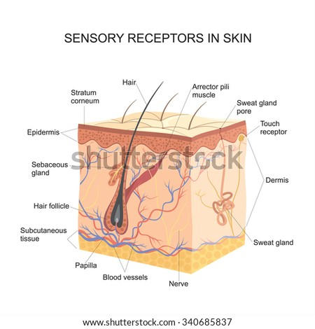 Medical education chart biology skin diagram stock vector sensory receptors in skin ccuart Image collections