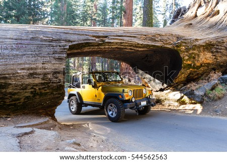 Sequoia NP, California - November 14: Gold jeep going thru a tunnel cut out of a single Sequoia tree trunk. November 14 2016, Sequoia NP, California.