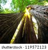sequoias - stock photo