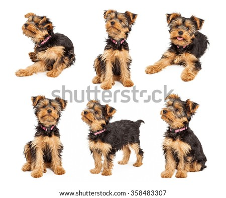 Series of images of an adorable little teacup Yorkshire Terrier puppy dog wearing a pink collar in different positions over white.