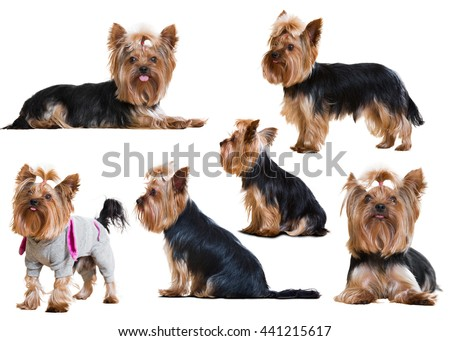 Set of Funny Yorkshire Terriers staying on white background