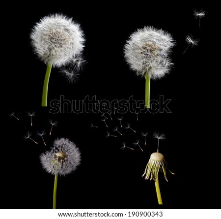 set of old dandelions isolated on black background