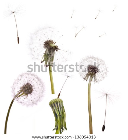 set of old dandelions isolated on white background