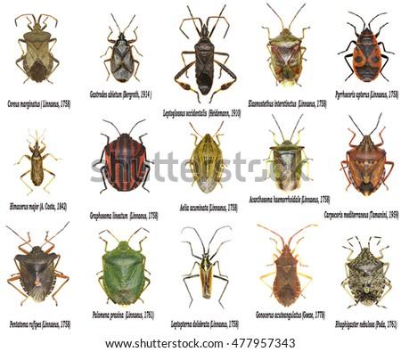 Set True Bugs Europe Hemiptera Stock Photo 477957343