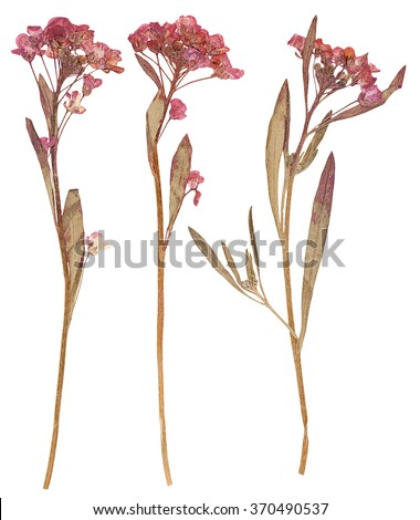 Set of wild dry flat pressed flowers, isolated