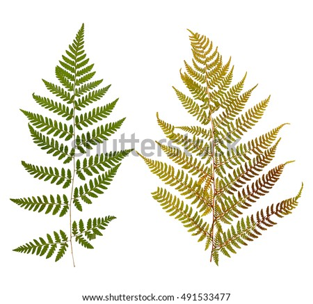 Set of wild dry leaf fern pressed, isolated on white
