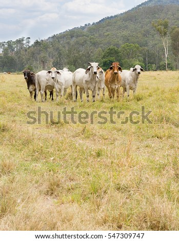 Seven 7 cows in a paddock of green grass in an Australian rural scene