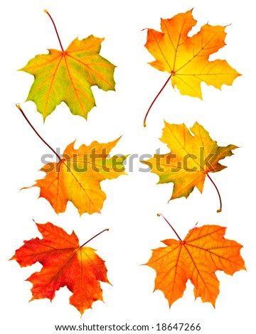 Several fall maple leaves isolated on white background