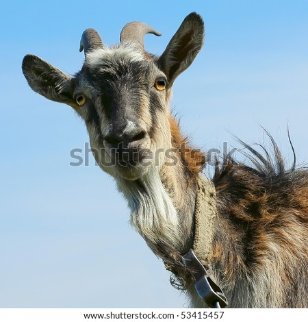 Shaggy smiling goat over blue sky background - stock photo