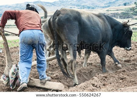 Sharecropper plowing a field for potatoes. October 18, 2012 - Maras, Urubamba Valley, Peru