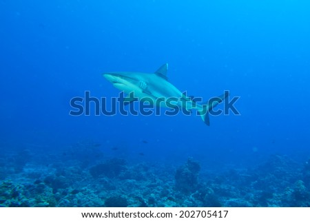 Shark jaws ready to attack underwater close up portrait on the reef background