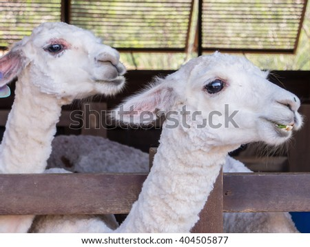 sheared Alpacas in corral