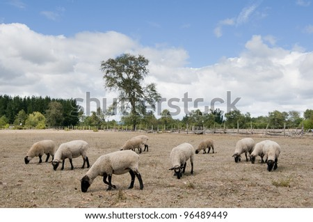 sheep flock of sheep in a pen