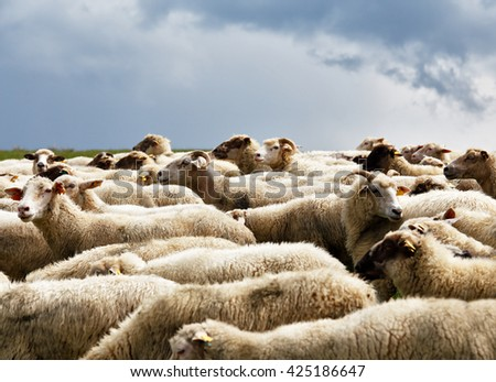 Sheep herd in a green meadow. Spring fields and meadows.