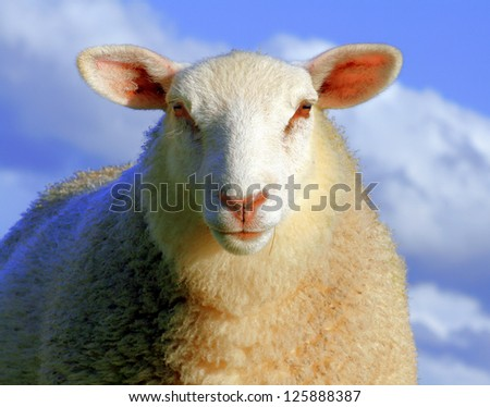 Sheep in blue light