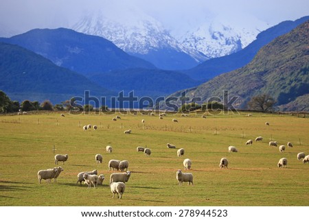 sheep on field in the south Island, New Zealand
