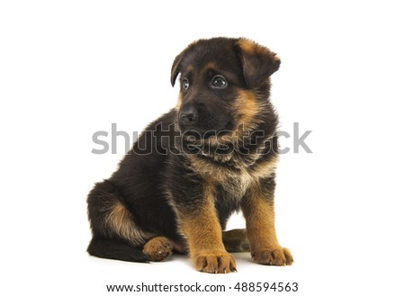 sheepdog puppy isolated on white background