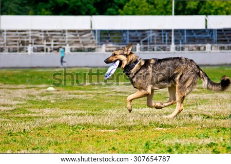 Shepherd dog running after a Frisbee disc competitions