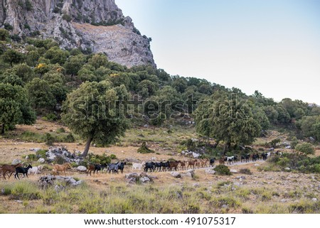 Shepherd in the mountains,goats