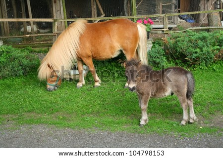 Shetland mini pony with foal