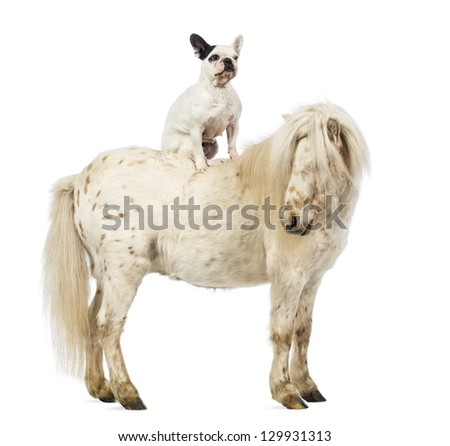 Shetland with a French bulldog sitting on its back in front of white background