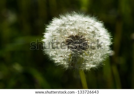 Shining dandelion clock against the background of dark green grass