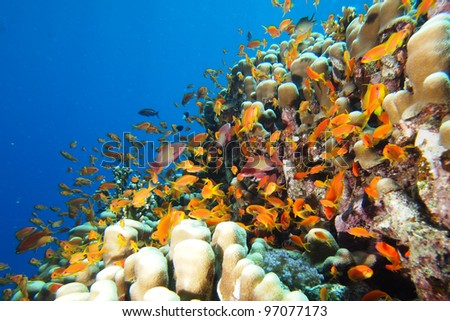 Shoal of anthias fish on the coral reef