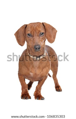 short haired dachshund standing in front of a white background