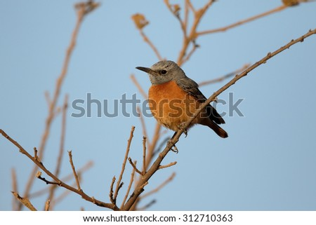 Short-toed rock-thrush, Monticola brevipes,  single bird on branch, South Africa, August 2015