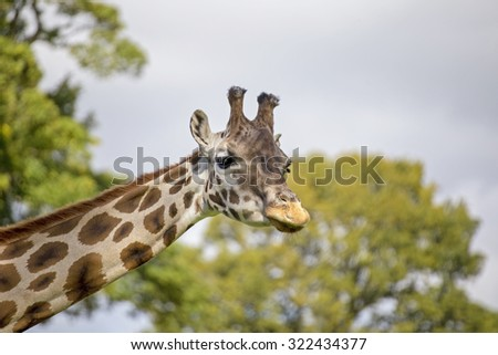 Showin a Giraffe in a rural setting .